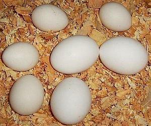 Chicken Broiler Hatching Eggs Cobb 500/ ROss 308 (500)