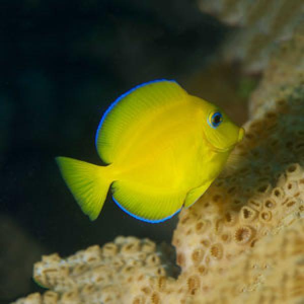 Marine Tang Fish