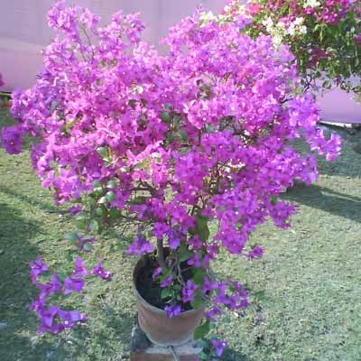 Perennial plants manufacturer in west bengal india by kamal nursery perennial plants mightylinksfo