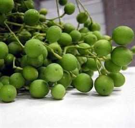 Indian Green Berries Manufacturer in Rajasthan India by Shri