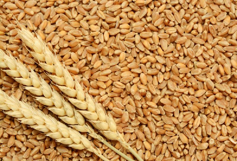 Wheat Seeds (2234)