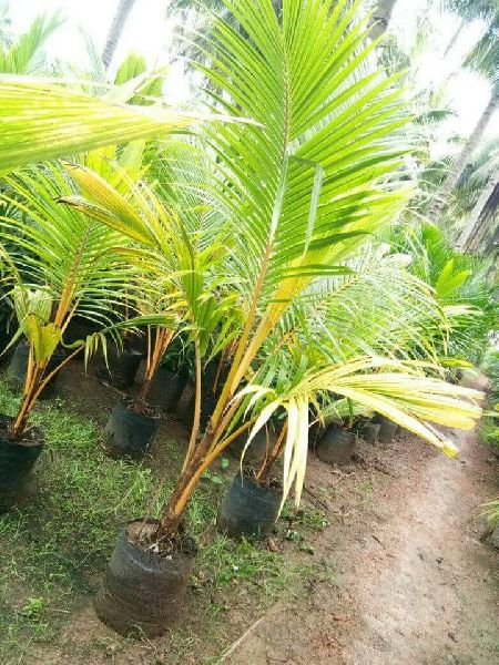 Dwarf Coconut Plant Buy Dwarf Coconut Plant For Best Price At Inr 160 Piece S Approx