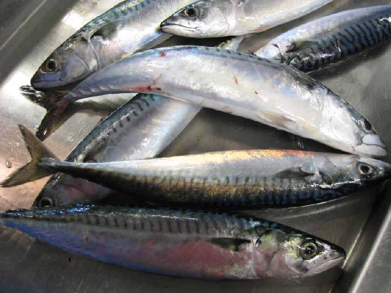 ATLANTIC MACKEREL FISH (FROZEN)