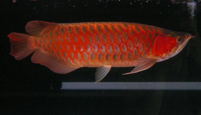 Arowana Fish (827833)