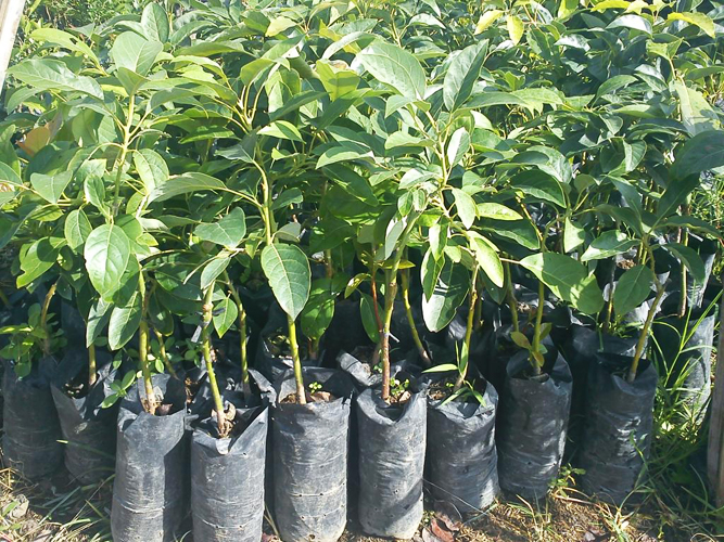 Avocado Plant Whole Suppliers In