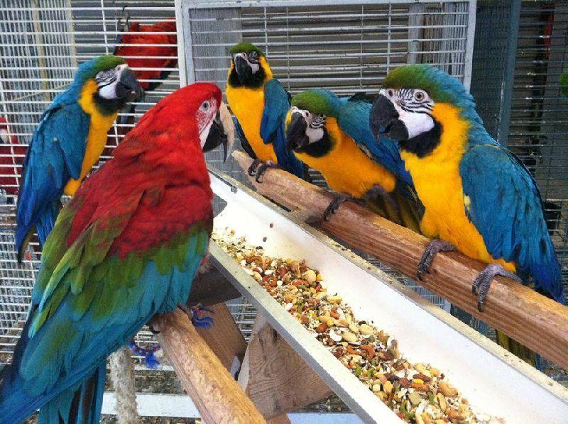 Fertile Parrot Eggs Manufacturer In Dharwad Karnataka India By Jamespjpoultryfarm Id 3984183