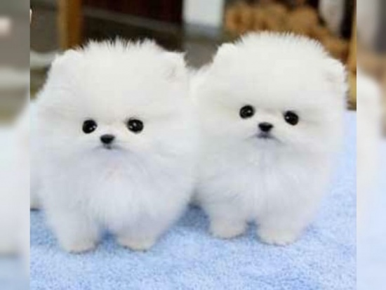 Affectionate Pomeranian Puppies For