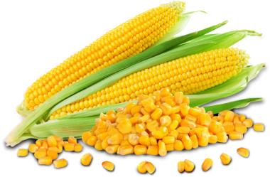 Sweet Corn Manufacturer In Traori Karnal Haryana India By