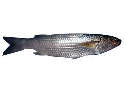 Grey Mullet Fish  sc 1 st  Exporters India & Buy Grey Mullet Fish from Poonam Ice u0026 Cold Storage India | ID - 142123
