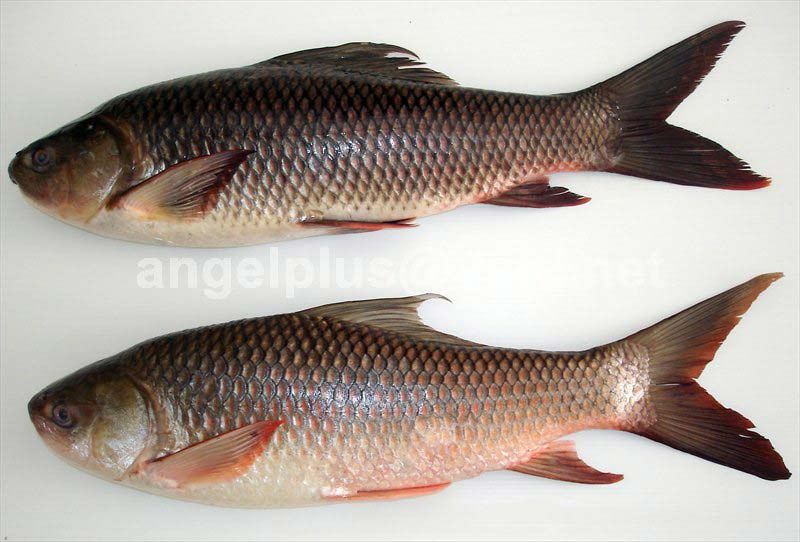 Frozen Rohu Fishes