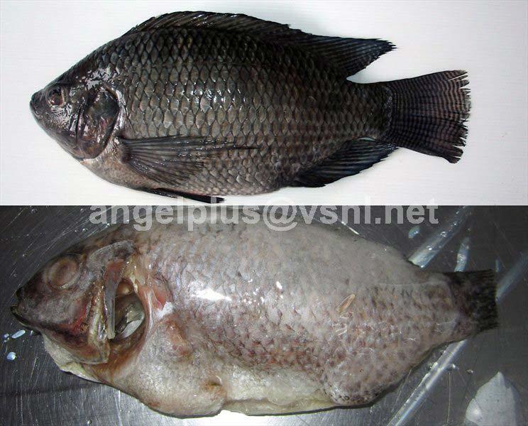 Frozen Tilapia Fishes