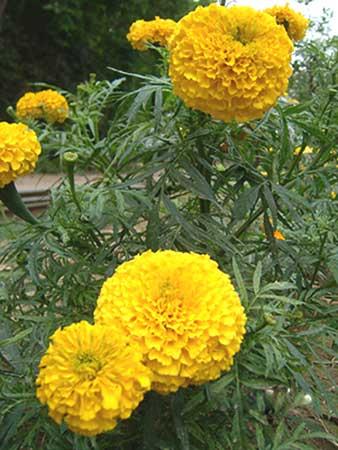 Fresh Marigold Flowers (Fresh Marigold Flowe)