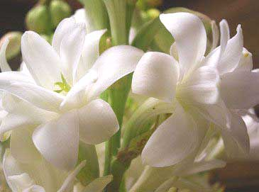 Fresh Tuberose Flowers (Fresh Tuberose Flowe)