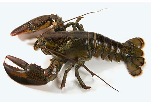Lobster a sea animal