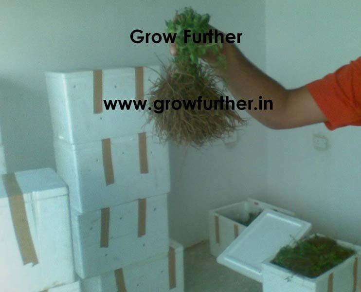 Stevia Plants/ Stevia Saplings