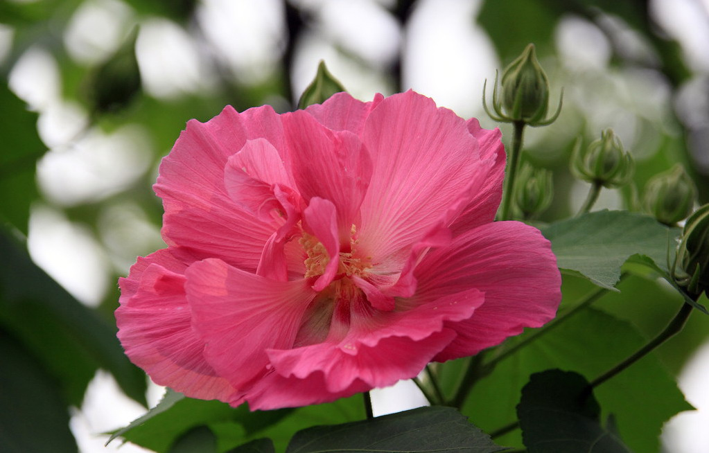 Buy Hibiscus Flower Extract From Changsha Staherb Natural Ingredients Co Ltd Id 496346