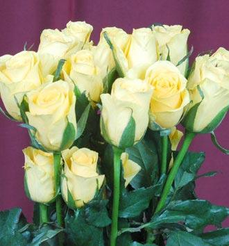 Fresh Rose Flower