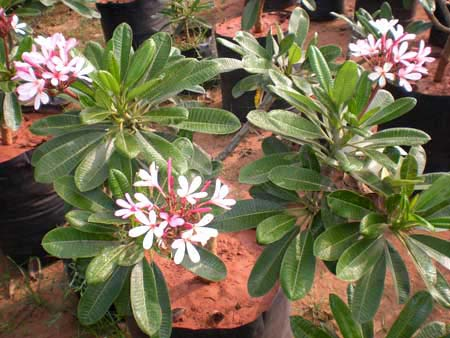 Pink Plumeria Plants Manufacturer In Chennai Tamil Nadu India By Royal Amazing Traders Id 953201