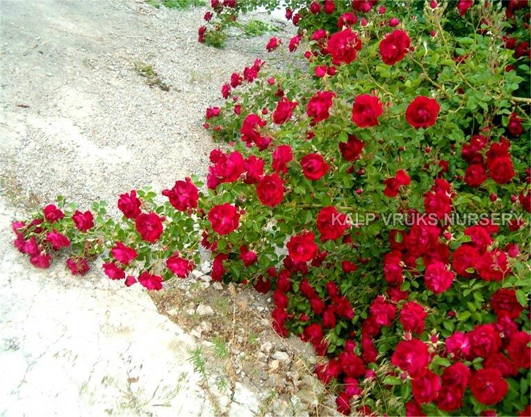 Rose Plants 004