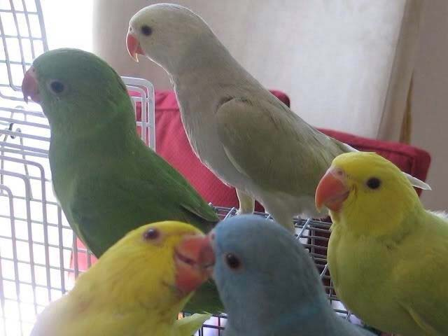 Baby Indian Ringneck Parrot Manufacturer In North Region