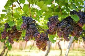 Grape-O-Vine