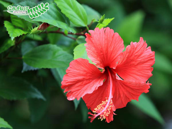 Hibiscus Leaves Manufacturer Exporters From India Id 812608