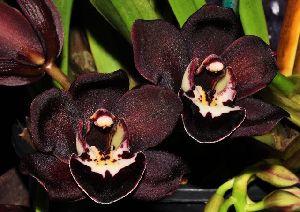 Cymbidium Kiwi Midnight Black Orchid
