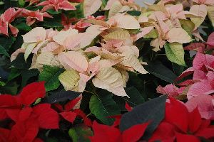 Lalupate The Christmas Flowers