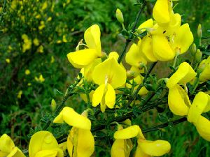 Yellow Broom Plant And Flower