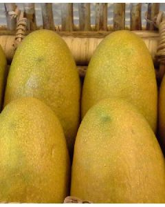 Banginapally Exotic mango