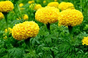 Fresh Marigold Flowers