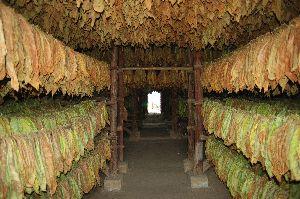 Biri Leaves