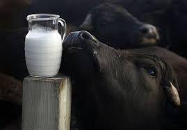 Pure Buffalo Milk