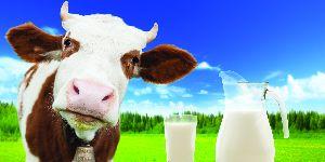 Pure Cow Milk