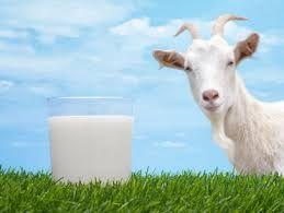Pure Goat Milk