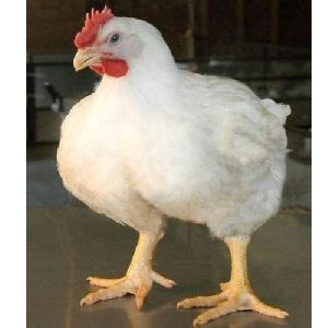 White Poultry Chicken