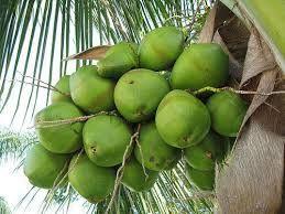 Fresh Raw Coconuts
