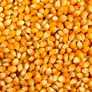 Yellow Maize Seed