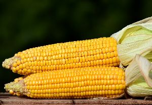 Corn Oil Fat Powder