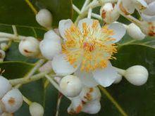 Calophyllum Seed Oil