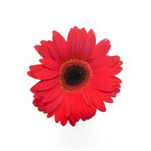 Natural Fresh Gerbera
