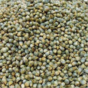 Hybrid Pearl Millet Seed