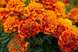 Fresh Marigold Flowers
