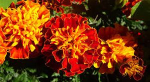 Natural Marigold Flowers