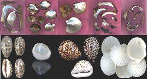 Sea Shell Conch Gift & Aquarium Accessories Raw Materials