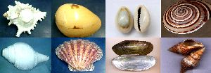 Seashell Conch Gift Utility Accessories Raw Materials