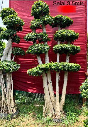 Bonsai Ficus Microcarpa Plant
