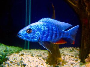 Blue Platy Fish