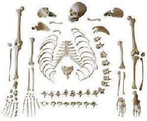 Human Disarticulated Skeleton