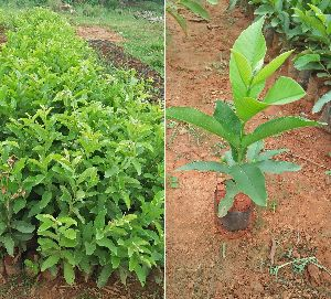 Thai Guava Plant